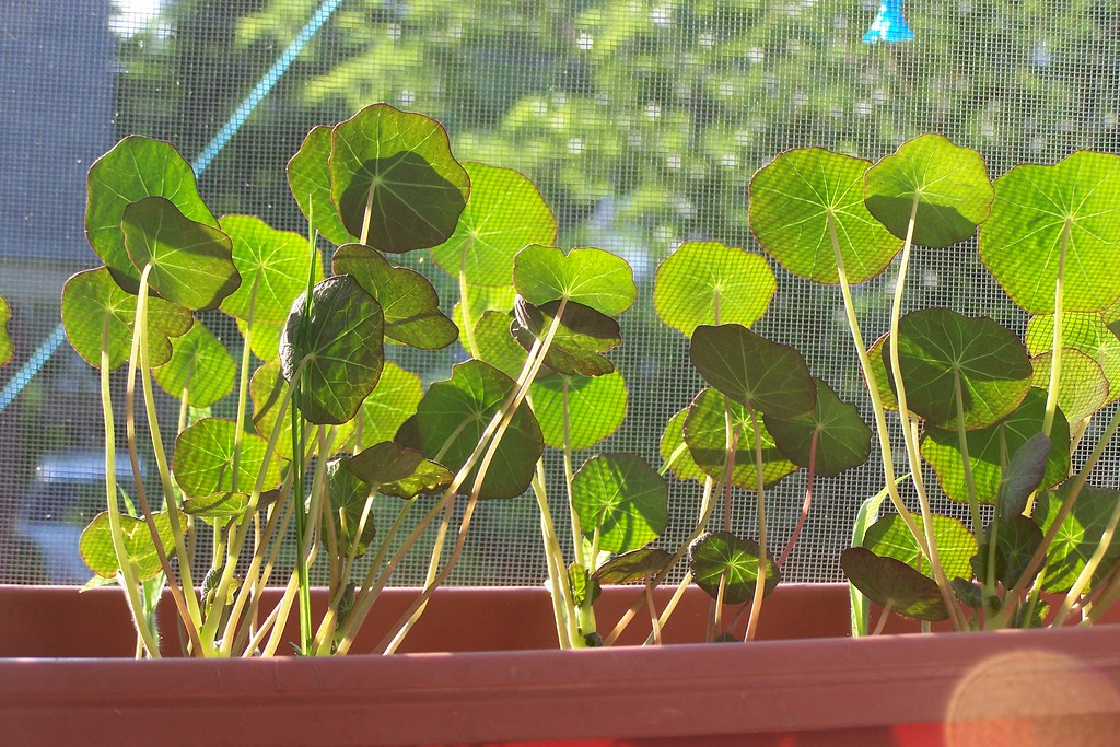 Nasturtium leaves in afternoon sunlight
