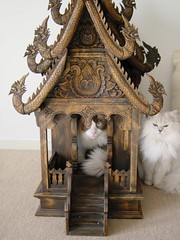 Japanese cats and spirit house (Shibuya Sakura) Tags: cat silver persian chinchilla  ragdoll spirithouse shaded longhaired persiancat colourpoint  ~kanji