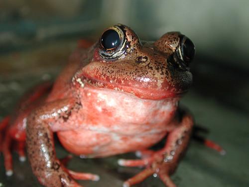 Red-legged Frog (Rana aurora) by alumroot.