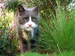 meet gumbo. he's 18. and has lips. (emdot) Tags: cat oldguy thiscathaslips dontmesswithmewhileimtryingtoeatmygrass gumbo feline embadge