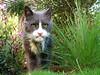 meet gumbo. he's 18. and has lips. (emdot) Tags: cat oldguy thiscathaslips dontmesswithmewhileimtryingtoeatmygrass gumbo feline embadge