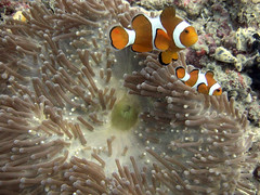 False-Clown Anemonefish (Amphiprion ocellaris) (Erwin Kodiat) Tags: ocean life fish west topv111 indonesia ilovenature java marine underwater clown dive scuba diving anemone diver erwin anemonefish false selam  kodiat sanghiang underwaterindonesia erwinkodiat