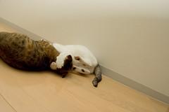 DSC_2224 (junku) Tags: cats cat nikon kitten d70 kitties  kin rika