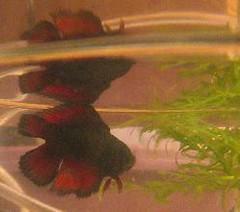 Chime (flaring) Tags: betta splendens spawn eggs fry fish female aquaria bubblenest