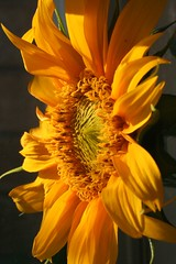 Mags sunflower