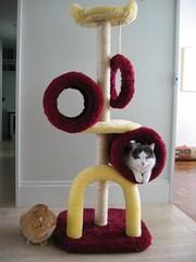 new toy (Cam Seslaf) Tags: cat cats gato chat neko tomcat cowcat redcat britishshorthair scratchingpost