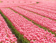 Tulip Field (Felix63) Tags: deleteme5 topv555 500v20f savedbythedeletemegroup tulips 100v10f tulip fields egmond abw