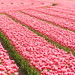Tulip Field - by Felix63