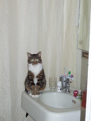 Sink Cat