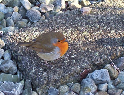 fattest bird