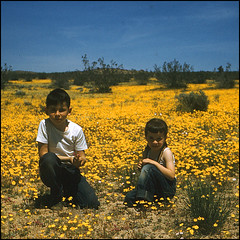 In the Afternoon Sea Of Gold (snapscot) Tags: yellow square desert steve slide maggie 1950s 1957 wildflowers margie cardwell glenncardwell highvista