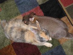Georgie looking extra cute (Lynda Sandoval) Tags: coco georgie bunny pets rabbits cuties