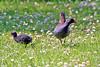 two ways (Blackwings) Tags: animal gallinule teichhuhn moorhen