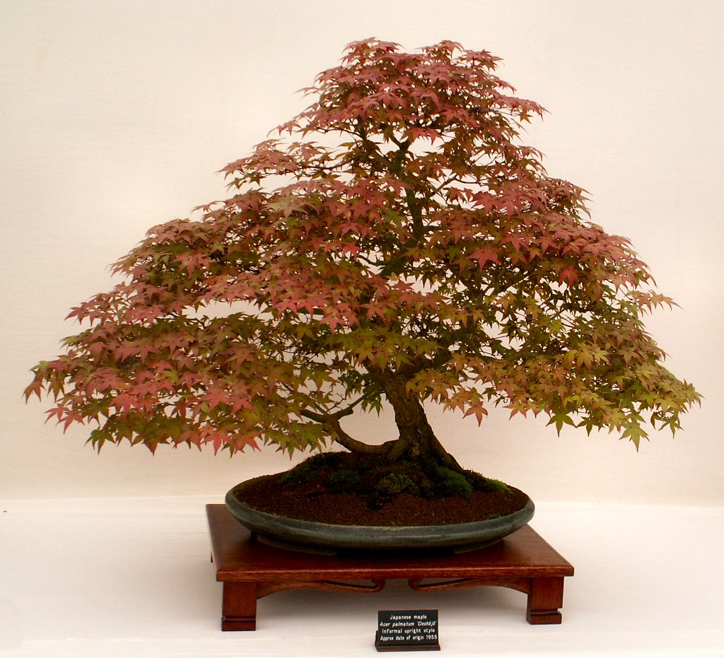 Japanese Acer Bonsai Tree, the origin of this specimen is 1955.