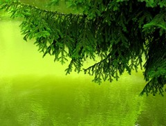 Greeeeen! (Linda6769) Tags: germany thuringia village nature pond water reflection tree branch green fir brden explore onecolor bicolored monocolored hildburghausen gewsser teich reflexion thuringian thringen conifer nadelbaum spruce baum konifere twig ast zweig explored grn