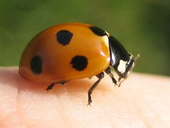cleaning the mandibles (GatheringZero) Tags: ladybird ladybug insect macro ixus