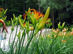 Lilies by the office (colin j.) Tags: flowers summer camp flower detail macro closeup geotagged office vermont lily plymouth tigerlily fw genitalia farmandwilderness farmwilderness geo:lat=435733 geo:lon=727581