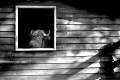 Minotaur ( Tatiana Cardeal) Tags: brazil bw film brasil photography countryside published documentary bull jumper tatianacardeal fotografia topf100 excellenceinbwphotography myths brsil minotaur centurys documentaire flickys pentaxspotimatic documentario