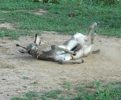roll2 (Posti) Tags: donkey animal foal jackass horse equine