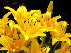 yellow lilies (Muffet) Tags: lilies catchycolors yellow blackground