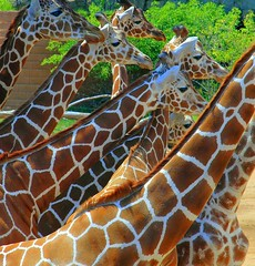 Giraffes (ricko) Tags: topf25 topv111 zoo saveme4 500v20f deleteme10 giraffes coloradosprings winnerflickrsweeklythemecontest