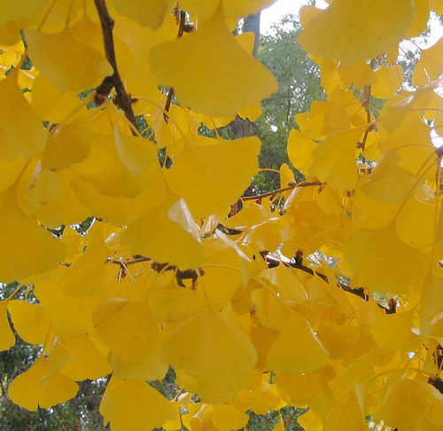 ginko -- colores landscape autumn granada gingko paseo paisaje biloba yellow things pilar amarillo