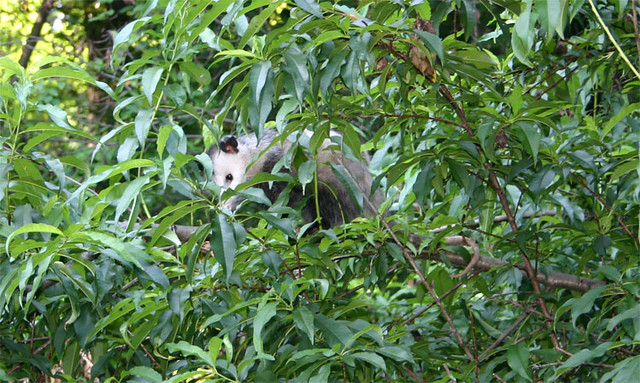 ...and a Possum in a Peach Tree.