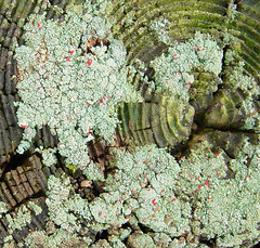 Top of post (Martin LaBar (going on hiatus)) Tags: fence post soldiers british lichen liquen growthrings britishsoldiers cladoniacristatella cladoniaceae