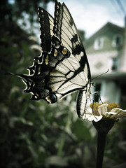 At home a butterfly