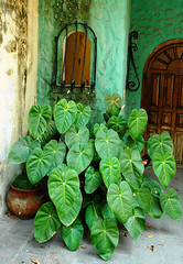 mexican potted shade plant Puerto Vallarta - by Wonderlane
