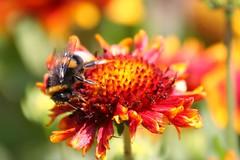 bumblebee at work (Blackwings) Tags: flower macro bumblebee