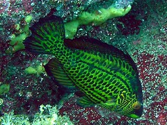#290 cocktailfish (), male (Nemo's great uncle) Tags: scuba diving hatsushima    cocktailfish pteragogusflagellifera pteragogus flagellifera  geotagged geo:lat=35037587 geo:lon=139167767 underwater  sealife