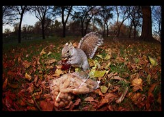 Peanut lover (candersonclick) Tags: squirrels remotecontrol fisheye color peanuts nature humor fall chicago humboldtpark