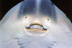 Hello World (ellectric) Tags: blue fish smile face smiling animal 1025fav wow ilovenature aquarium funny ray stingray sealife flickys funniestphoto