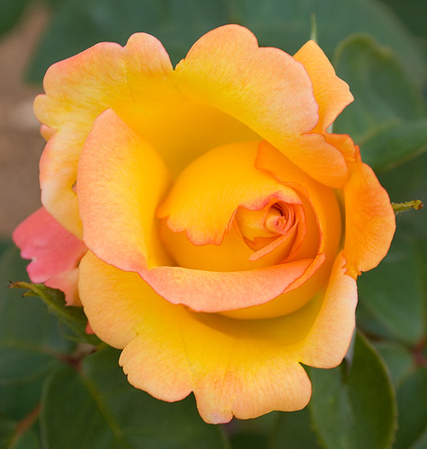 Yellow rose by flod