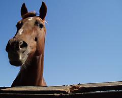 A Horse Named Denver (emdot) Tags: sanluisobispo horse embadge sky