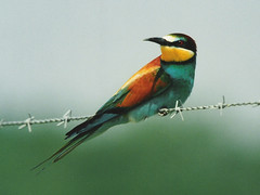 Bee-eater, Viguerat (France), 6-May-99 (Dave Appleton) Tags: beeeater bird viguerat france europeanbeeeater meropsapiaster merops apiaster birds aves top