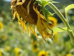 Dry Sunflower 7.25.2005 (Notley) Tags: 2005 flower floral flora july missouri sunflower bocomo 10thavenue notley ruralphotography boonecountymissouri notleyhawkins missouriphotography httpwwwnotleyhawkinscom notleyhawkinsphotography boonebounty