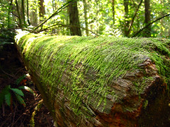 Moss (Living Juicy) Tags: green broken nature nappy rocky craggy unfinished jagged rough deceptionpass rugged textured ridged whidbey uneven knotty ruffled knobby gooserocksummit unlevel cragged livingjuicy nodular lj2005 notsmooth bumpycoarse crossgrainedharsh