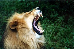 lion (Bravemouth) Tags: africa animals topv111 wow tiere topv333 wildlife topv444 lion afrika eos30 lwe wildnis animalkindomelite flickrbigcats