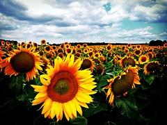 sunflowers  (*helmen) Tags: sky flower nature topf25 field yellow topv111 topv2222 clouds wow catchycolors ilovenature cool fantastic topf50 topv555 topv333 topf75 europe republic czech outdoor quality topv1111 topc50 topc75 topv999 highcontrast favme topf300 topc100 topv5555 25 sunflower czechrepublic topv777 300 5000 topv9999 topv11111 topf150 topv3333 topv4444 vignetting topf100 oneyear topf250 topf200 6000 topv888 topv8888 topv6666 topv7777 topf400 topc150 blm1 topf450 topf475 extravagant topf500 topf350 topc200 topf555 fotolia