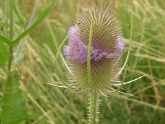 Teasel in flower (Beaupepys) Tags: runcorn holiday