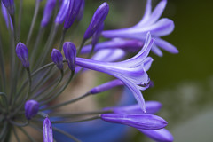 Agapanthus Flowers (LoquaciousD) Tags: flowers blue flower macro garden backgarden agapanthus