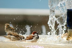 Absorb IN (HaMeD!caL) Tags: birds fountain splash como milan italy topf25 topf50