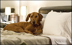 buddy in bed (noahstone) Tags: dog buddy vizsla rhodesian ridgeback bed topv111