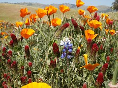 Poppies (Photo Patty) Tags: wildflowers sanjose montgomeryhill