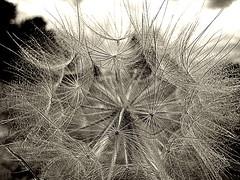 webbed (dawn m. armfield) Tags: arizona bw nature flora dandelion flagstaff blogged northernarizona f828 photodotocontest1 timberlinefernwood
