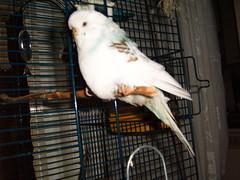 Sylvester (roobarbs) Tags: budgie sylvester parakete bird