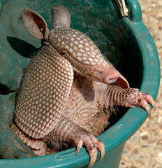 Armadillo Dees (Jeff Clow) Tags: party cute green topf25 wow ilovenature top20np interestingness top20animalpix topf50 bravo texas nikond70 topc50 interestingness1 personality armor armadillo mybackyard claws gettyimages talons dillo scaley armadillos quantaraylens jeffclow magicdonkey 1500v40f 123hallofame specanimal animalkingdomelite copyrightedbyjeffrclowallrightsreservednounauthorizedusageallowed frjrc