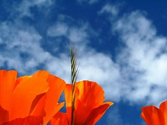 Orange poppies, blue sky (Camra_ Art / Ellen Gardner) Tags: flowers orange gardens poppy poppies